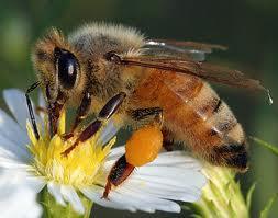 Пчела медоносная.