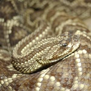 Бразильская гремучая змея.