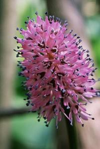 Растение Helonias.