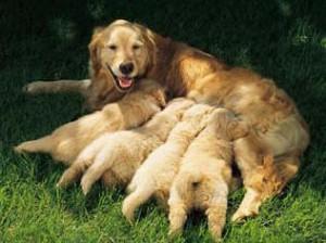 Молоко собаки.
