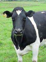 Коровье молоко.