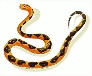 Змея Lachesis.
