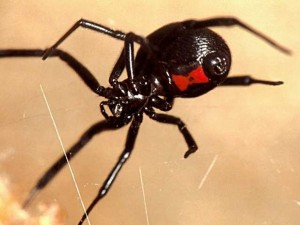 Latrodectus в паутине.