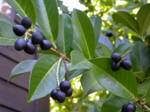 Растение Laurocerasus.