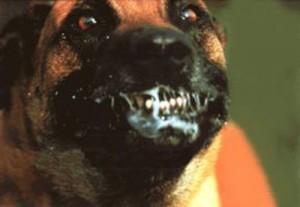 Слюна бешенной собаки.