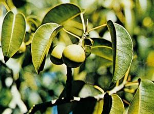 Растение Mancinella.