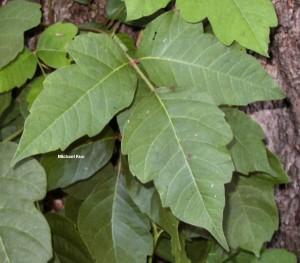 Растение Rhus toxidendron.
