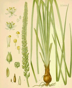 Растение Sabadilla.