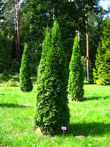 Растение Thuja.