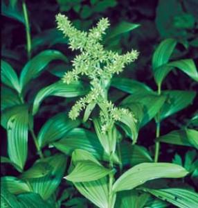 Растение Veratrum viride.