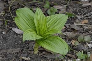 Растение Veratrums.
